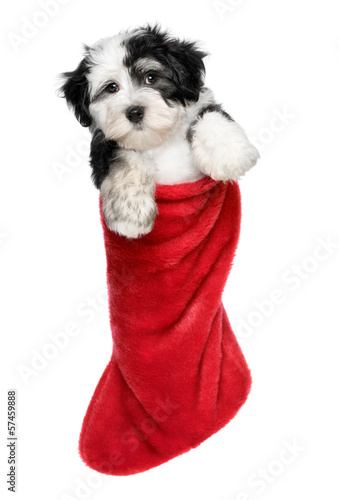 Deurstickers Franse bulldog Cute Havanese puppy dog is hanging on a Santa boots