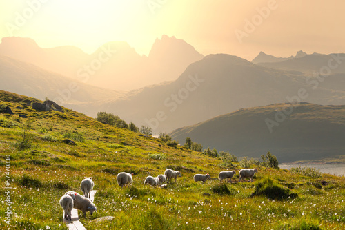 Stickers pour porte Scandinavie Sheep in Norway