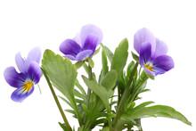 Flowers Of The Viloa