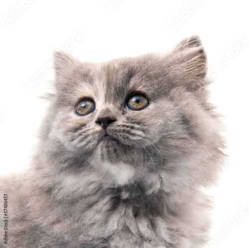 piekny-rasowy-kot