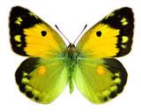 Ciemnożółty motyl (Colias Croceus)