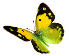 Dark Clouded Yellow (Colias Cr...