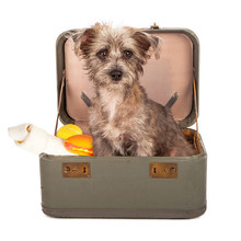 Terrier Dog In Suitcase