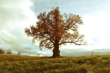 Panel Szklany Drzewa Bicentennial oak tree
