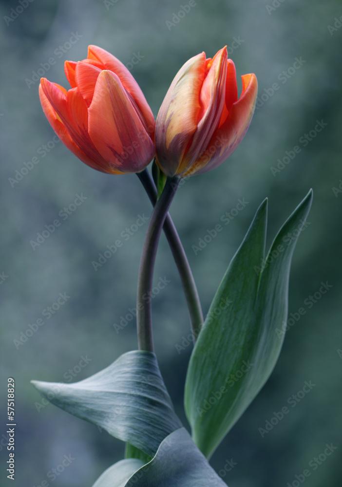 Fototapety, obrazy: Piękna kompozycja tulipanów