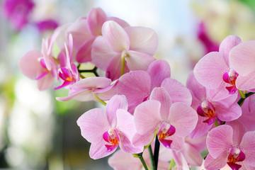 Obraz na płótnie Canvas pink orchid