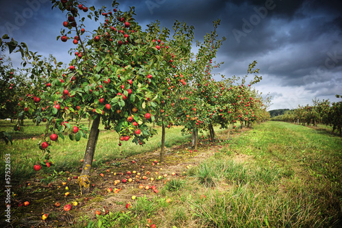 Fotografia Apple orchard at cloudy day
