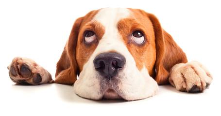 Fototapeta beagle head isolated on white