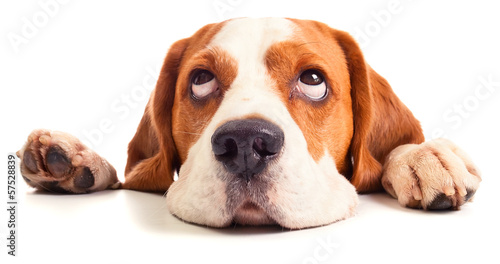 Fotobehang Hond beagle head isolated on white