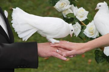 Naklejka Hand in Hand: Brautpaar mit weißer Taube auf der Hand