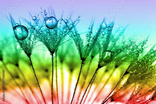 Canvas Prints Dandelions and water dewy dandelion