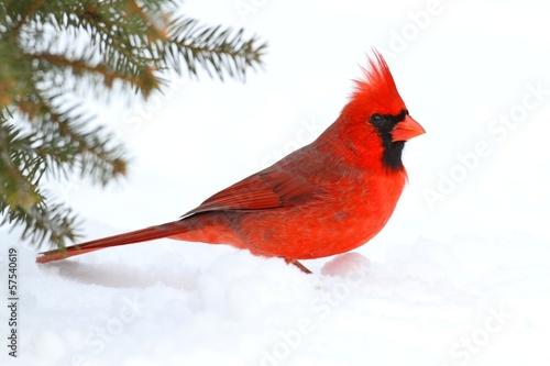 Male Cardinal In Snow Fototapete