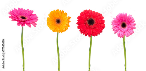 Wall Murals Gerbera Gerbera flower isolated on white background