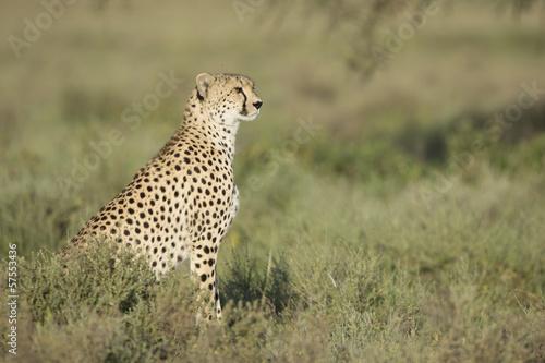 Staande foto Afrika Adult Female Cheetah (Acinonyx jubatus) Tanzania