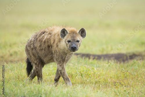In de dag Hyena Spotted Hyaena (Crocuta crocuta) Tanzania