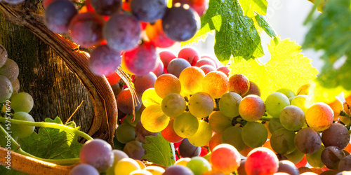 Fotografia  grapes rainbow