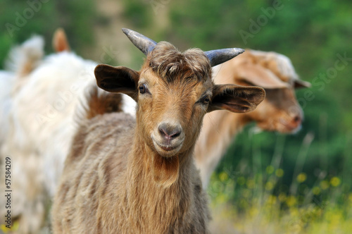 Photo Brown goat