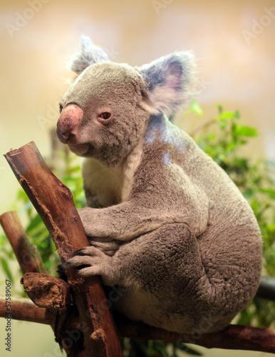 Photo Stands Koala Baby Koala bear