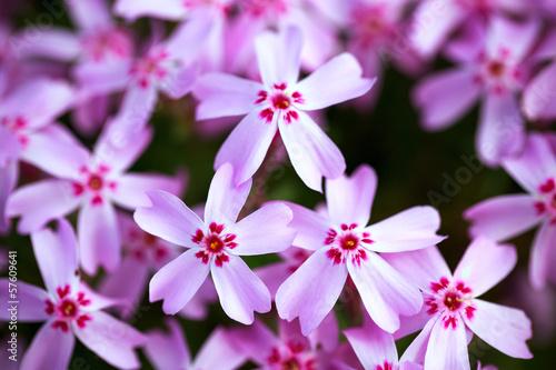 roza-floks