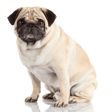 Pug Dog Isolated On A White Ba...