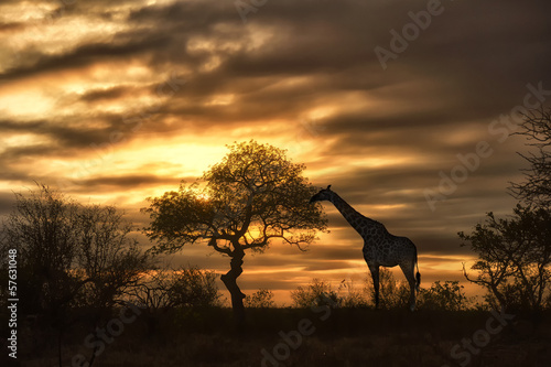 Deurstickers Afrika african giraffe walking in sunset