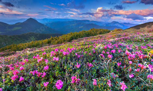 Fototapety, obrazy: Magic pink rhododendron flowers in the mountains. Summer sunrise