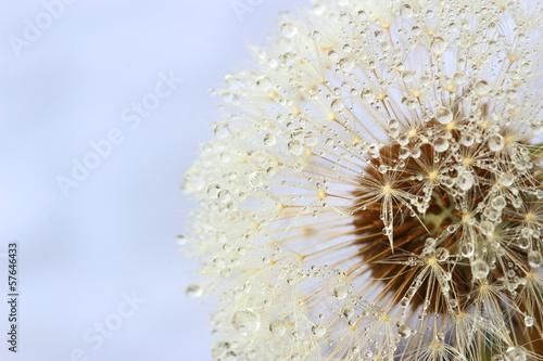Dandelion seeds covered water drops