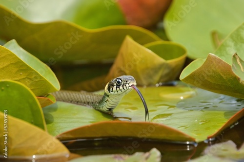 Photo Stands Water lilies Grass Snake (Natrix natrix) hunting on the Water Lilies