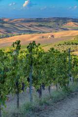 Fototapeta Toskania Vineyards in Tuscany