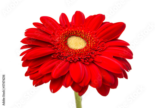 Fotobehang Gerbera beautiful gerbera flower