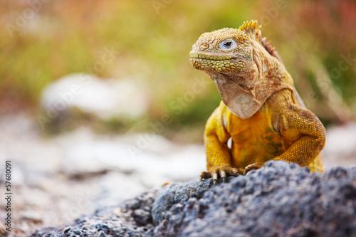 Foto auf Gartenposter Südamerikanisches Land Land iguana