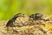 Female And Male Stag Beetles, ...