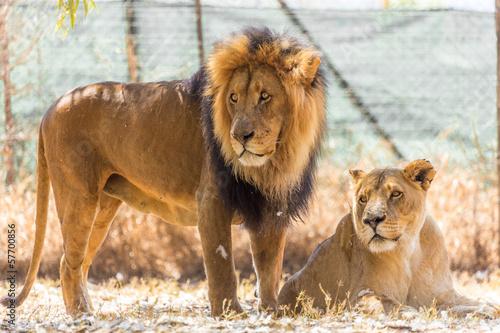 Staande foto Leeuw Lion couple