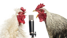 Two Roosters Singing At A Micr...