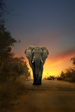 African Elephant Walking In Su...