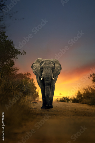 Poster Afrika african elephant walking in sunset