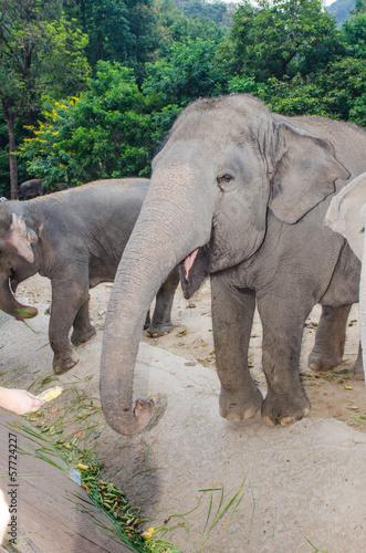 Garden Poster Elephant Asiatic elephant