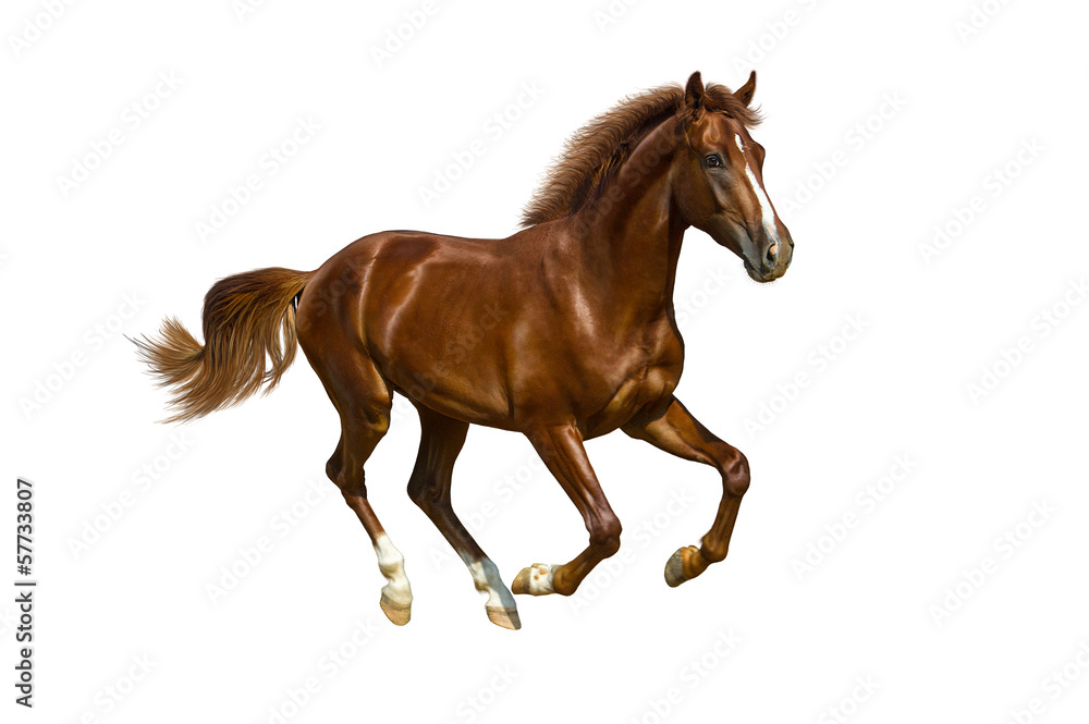 Fototapety, obrazy: Young horse