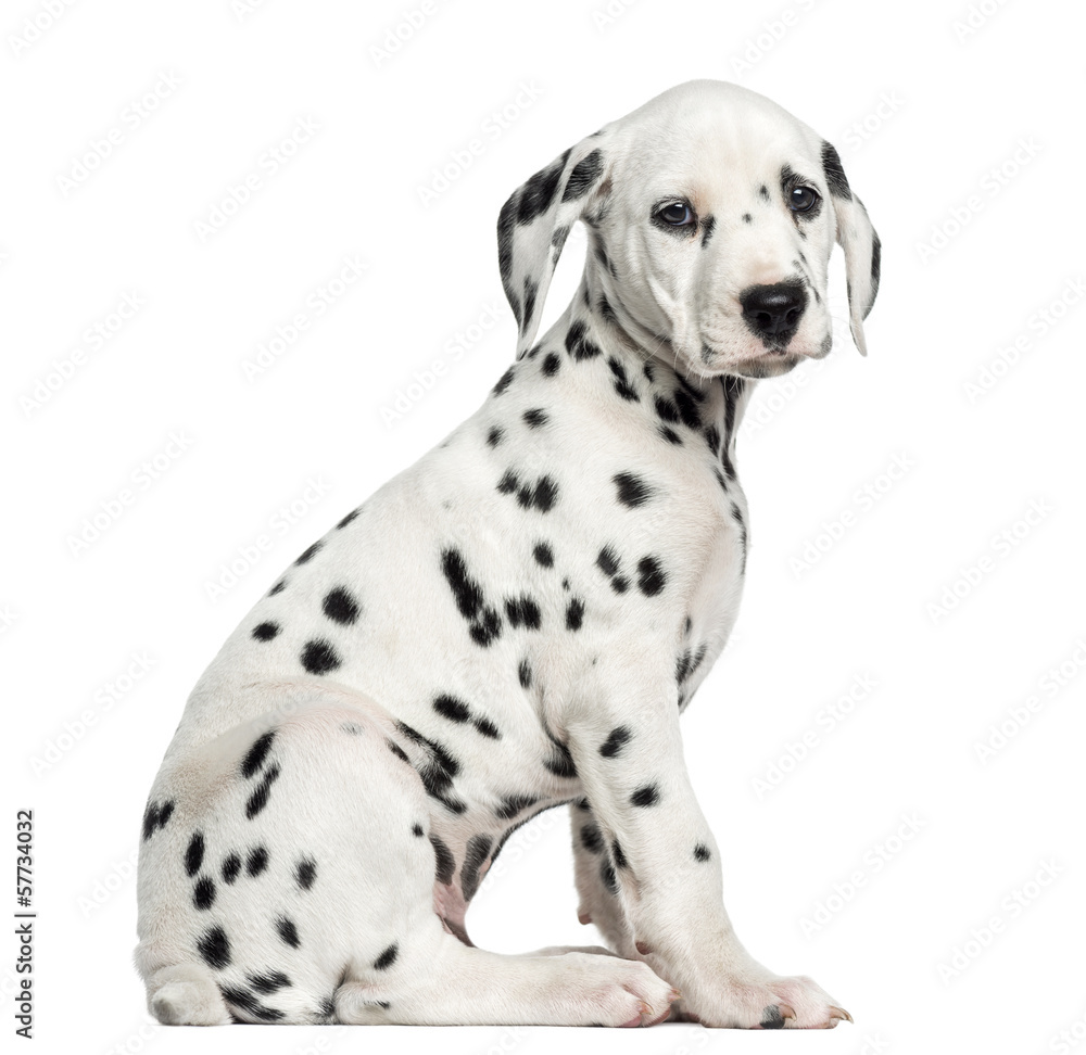 Fototapety, obrazy: Side view of a Dalmatian puppy sitting, looking at the camera, i