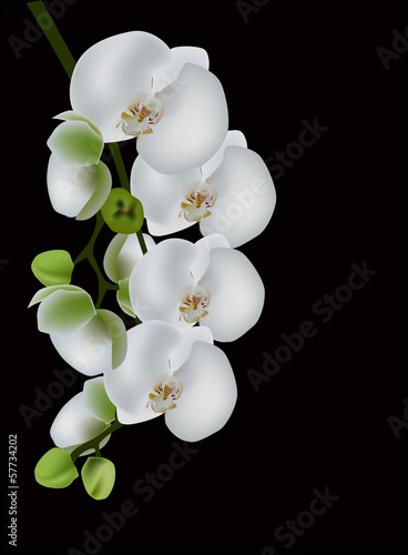 white orchid blossom isolated on black - 57734202