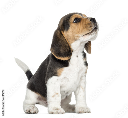 Beagle puppy howling, looking up, isolated on white Fototapet