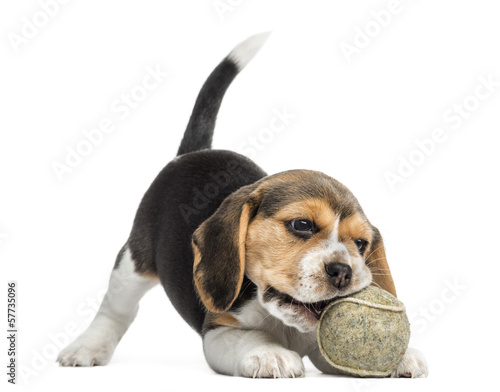 Stampa su Tela Front view of a Beagle puppy playing with a tennis ball