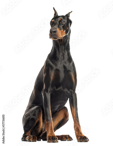 Foto Doberman Pinscher sitting, looking away, isolated on white