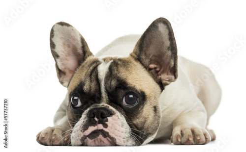 Poster Bouledogue français French Bulldog facing, lying, isolated on white