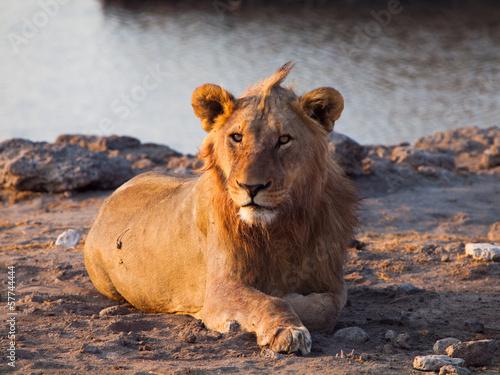 Staande foto Leeuw Lion having a rest