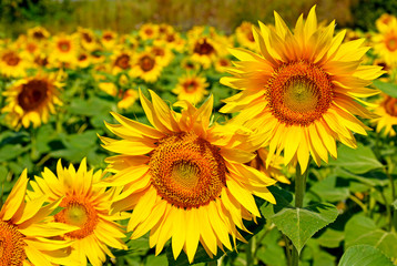 FototapetaA beautiful sunflower field