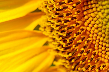 FototapetaSunflower close up