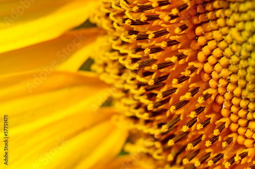 Sunflower close up - 57751471