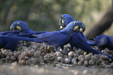 Hyacinth Macaw,  Anodorhynchus Hyacinthinus,