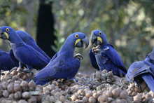Hyacinth Macaw,  Anodorhynchus...